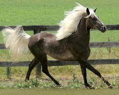 Young Rocky Mountain Horse mare, RDJ's Scarlet O'Hara.