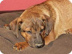 ST LOUIS, MO - Dachshund Mix. Meet Chauncey, a puppy for adoption. http://www.adoptapet.com/pet/12662553-st-louis-missouri-dachshund-mix