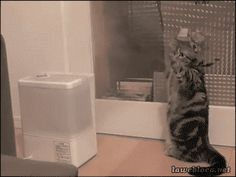 Funny pictures about Cat Versus Steam. Oh, and cool pics about Cat Versus Steam. Also, Cat Versus Steam photos. Cute Funny Animals, Funny Cute, Cute Cats, Crazy Cat Lady, Crazy Cats, Gato Grande, Munchkin Cat, Cat Gif, I Love Cats