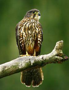 Adult male bush falcon. Photo copyright: Wingspan Birds of Prey Trust.