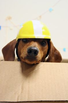 Every Dachshund needs a space ship made out of a cardboard box!
