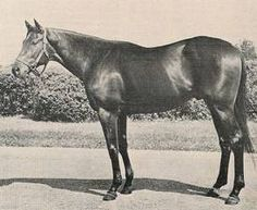 Tim Tam (USA) 1955 (Tom Fool-Two Lea), winner of the 1958 Kentucky Derby. Barrel Racing Saddles, Barrel Racing Horses, Horse Saddles, Horse Racing, Race Horses, Horse Halters, Clydesdale Horses, Thoroughbred Horse, Breyer Horses