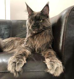 Pretty Cats, Beautiful Cats, Beautiful Cat Breeds, Kittens Cutest, Cats And Kittens, Cats Bus, Ragdoll Kittens, Tabby Cats, Funny Kittens