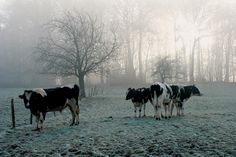 Cows, Animals, Outdoor, Medium, Outdoors, Animales, Animaux, Animal, Outdoor Games