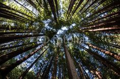 Canopy of Redwood Forest