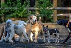 Barking dogs at Chevy Chase dog park divide rich and powerful - The Washington Post Black Lab Names, Dog Passed Away, Norwich Terrier, Chevy Chase, Retriever Puppy, Dog Barking, Dog Park, Goldendoodle, Dog Owners