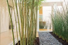 back yard landscape ideas - horsetail or bamboo plants for the fences