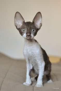 The Cornish Rex isn't the victim of a hair stylist's experimentation. Short Hair Cat Breeds, Short Hair Cats, Kittens Cutest, Cats And Kittens, Cute Cats, Baby Animals Pictures, Cute Animals, Cornish Rex Kitten, Happy Kitten