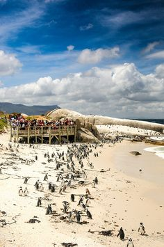 African Penguin colony of Foxy Beach, Simon's Town, South Africa Knysna, South Afrika, Cape Verde, Cape Town South Africa, Garden Route, Guinea Bissau, Live, Trip Advisor, Beautiful Places