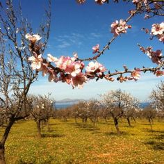 Almond trees in the Mediterranean winter. Magic Island, Art Deco Buildings, Balearic Islands, Holiday Destinations, Beautiful Landscapes, The Good Place, Cool Pictures, Beautiful Places, Places To Visit