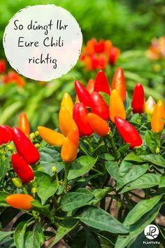 Chili düngen: Welches Düngemittel eigent sich am besten für das Chili düngen? Was sind die Nachteile vom Mineraldünger? Welche Vorteile hat ein organischer Dünger? Die Antworten zu diesen und mehr Fragen zum Chili düngen, findet Ihr auf Plantura! #Chilidüngen #Chili #Pflanzendüngen