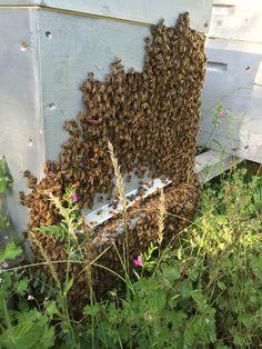 """C'est ce qu'on appelle """"faire la barbe"""". Les abeilles aussi sont sensibles à la chaleur, elles sortent parfois en nombre prendre l'air"""