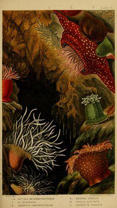 Scientific Illustration.  Actinologia britannica..  London,Van Voorst,1860..