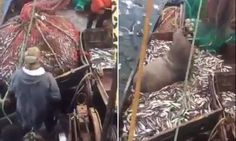 Now that's a big catch! Russian fishermen accidentally reel in a massive SEA LION inside their net   Read more: http://www.dailymail.co.uk/news/article-3923732/Russian-fishermen-catch-huge-sea-lion-inside-net.html#ixzz4Q2VWb3xe  Follow us: @MailOnline on Twitter   DailyMail on Facebook