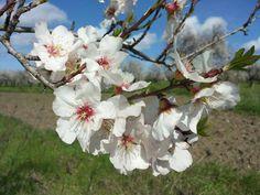 Fiore del mandorlo. Flores de almendras. Sardinia-Sardegna