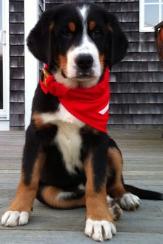 """""""Booley"""" The Greater Swiss Mountain Dog"""