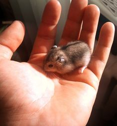 9 Best Adorable Hamster Pics images in 2017 | Hamster pics