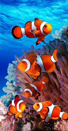 Coral Reef Nemo Endangered Beach Towel