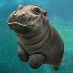 San Diego's most famous baby hippo.. Wow! I love these pics.