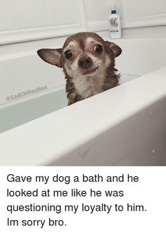 Chihuahua, Dogs, and Sorry: Chihuahua   @Sad  Gave my dog a bath and he looked at me like he was questioning my loyalty to him. Im sorry bro.