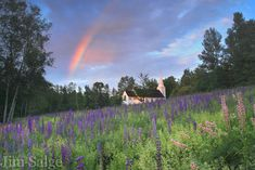 Sugar Hill Lupine Festival   Must-See Event in New Hampshire  --Photo Credit: Jim Salge