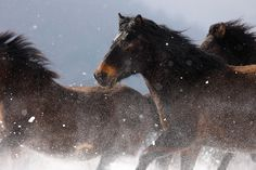 World War II caused a severe decline in the number of Hucul horses in Czechoslovakia. After the end of the war, only 300 Hucul horses remained there. Miniature Horses, Wild Mustangs, Horse Breeds, Ponies, Winter Wonderland, Europe, War, Number, Poland