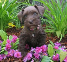 Miniature Schnauzer Liver Color   toy and miniature schnauzers, liver parti schnauzer, female liver ...