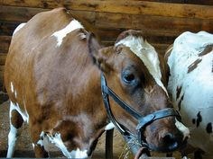 Annabelle The Cow by nellliz2000, via Flickr