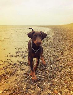 Doberman Pinscher (Pincher) Puppy Dog #Dobie