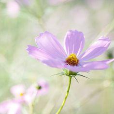 Instagram media by ryosuke8889 - #ig_daily #ig_japan #igersjp #cosmos #秋桜 #コスモス #写真好きな人と繋がりたい #写真撮ってる人と繋がりたい #写真を撮ってる人と繋がりたい #写真好キナ人ト繋ガリタイ #カメラ女子 #カメラ男子 #team_jp_東 #team_jp_flower #ig_nature #ig_flowers #bns_flower #bns_nature #tokyocameraclub #Sigma #dp3quattro #dp3q #foveon ** ** ** Cheers  お疲れ様でした ** ** **