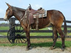 Bay Mule Mare W/ a Ton of Trail & Show Hours.