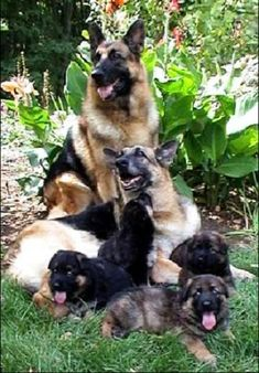German Shepherd family living together and enjoying this life with babies and each other..U B blessed 4 ever..angels from god