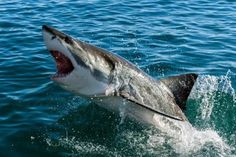 The surfer suffered a breach attack, in which the great white shark struck him from below Ocean Ecosystem, Marine Ecosystem, Orcas, Deep Sea Sharks, Great White Shark Attack, Shark Names, Shark Photos, Apex Predator, The Great White