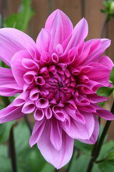 Hot Pink Dahlia ✿⊱✦★ ♥ ♡༺✿ ☾♡ ♥ ♫ La-la-la Bonne vie ♪ ♥❀ ♢♦ ♡ ❊ ** Have a Nice Day! ** ❊ ღ‿ ❀♥ ~ Tu 30th June 2015 ~ ❤♡༻ ☆༺❀ .•` ✿⊱ ♡༻ ღ☀ᴀ ρᴇᴀcᴇғυʟ ρᴀʀᴀᴅısᴇ¸.•` ✿⊱╮ ♡