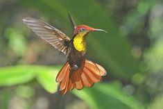 colibries volando