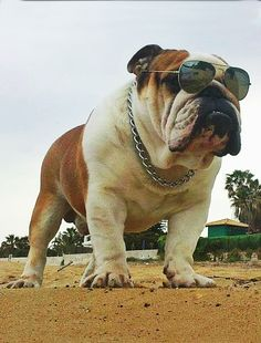 ..patrol unit.. #dogs #englishbulldog