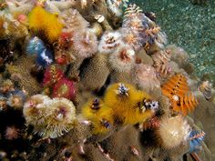 Christmas tree worms (ocean feather dusters)