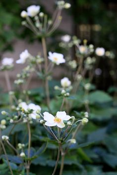 japanese anemone for fall color | gardenista