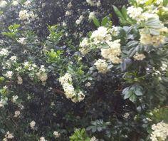 Florecen en mi tierra guaraní Perfuman su entorno  Alegran a las ventanas del alma Asunción, Paraguay  Corazón de América  del Sur