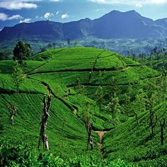 tea plantations in the hill country of Sri Lanka
