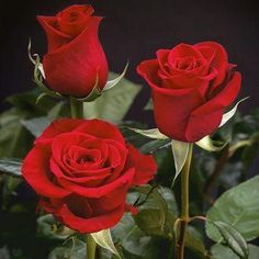 Give your event an extravagant elegance with XXL Extra Extra Large Long Stemmed Freedom Red Roses. These roses have large blooms with gently curling petals and My Flower, Pretty Flowers, Flower Power, Birth Flower, Send Flowers, Oriental Lily, Hybrid Tea Roses, Beautiful Roses, Romantic Roses