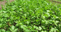 We were able to harvest 2 1/4 gallons of cilantro leaves (coriander) today. Cilantro is a delicious annual herb, member of the parsley fami...
