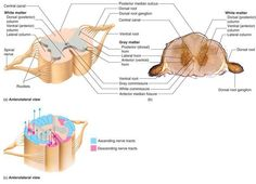 posterior median sulcus - Google Search