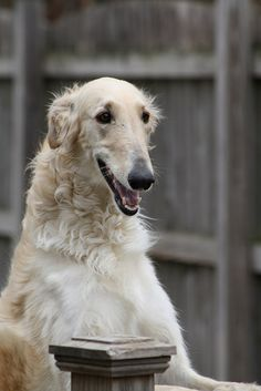 Oh, that sweet face! Beautiful Borzoi.