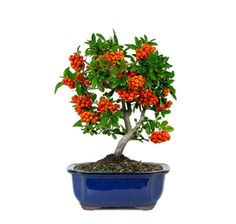 The Dwarf Pyracantha Bonsai Tree from Nursery Tree Wholesalers is known for the red berries in an array of clusters for a beautiful effect for bonsai trees.