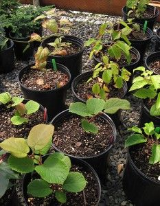 Kiwi Biochar Experiment -- a blogger on his discoveries with biochar