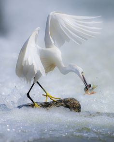 E~~~Snowy egret (Egretta thula) is a small white heron. Tropical Birds, Exotic Birds, Colorful Birds, Nature Animals, Animals And Pets, Cute Animals, Beautiful Birds, Animals Beautiful, Big Bird