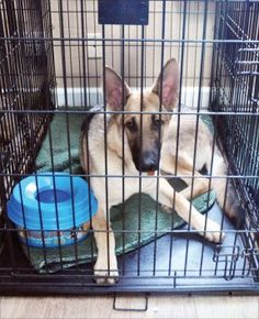 "Few things are worse than hearing the vet say those dreaded words: Cage Rest."" Most often the consequence of an injury or major surgery Large Dog Breeds, Large Dogs, Puppies Tips, Dogs And Puppies, Aromatherapy For Dogs, Acl Surgery, Dog Cages, Dog Lady, Puppy Care"