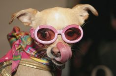 NY Fashion Week Chihuahua