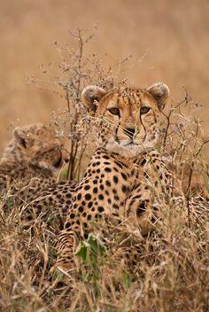 *Cheetahs (by ©robson)